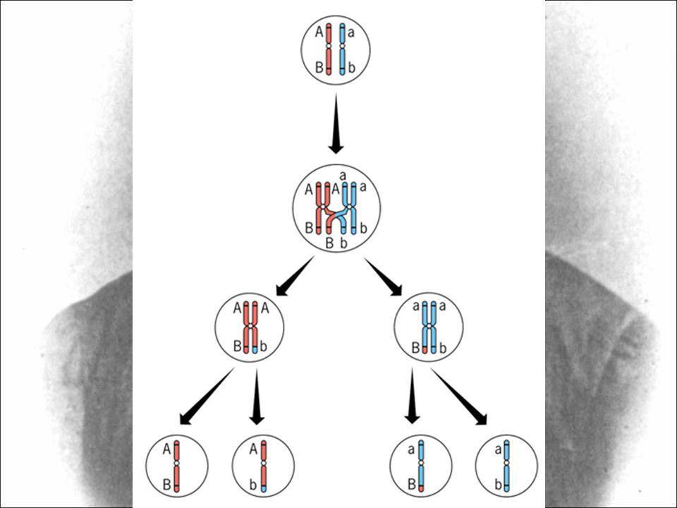 34) Numa determinada planta, os locos gênicos A, B e C estão ligados no mesmo cromossomo.