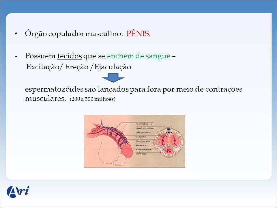 Órgão copulador masculino: PÊNIS. -Possuem tecidos que se enchem de sangue – Excitação/ Ereção /Ejaculação espermatozóides são lançados para fora por