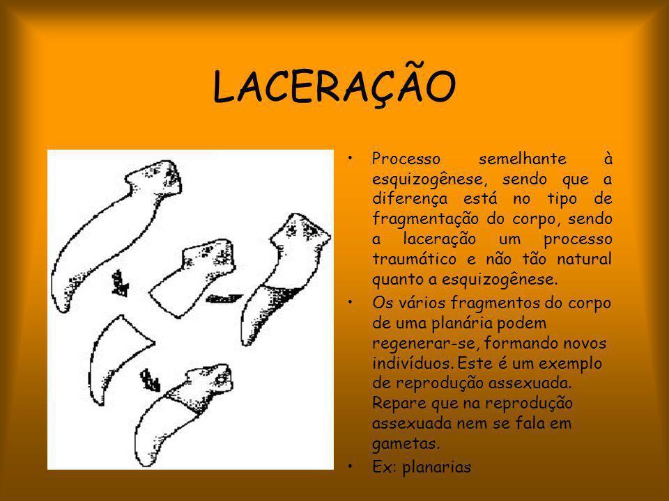 LACERAÇÃO Processo semelhante à esquizogênese, sendo que a diferença está no tipo de fragmentação do corpo, sendo a laceração um processo traumático e não tão natural quanto a esquizogênese.