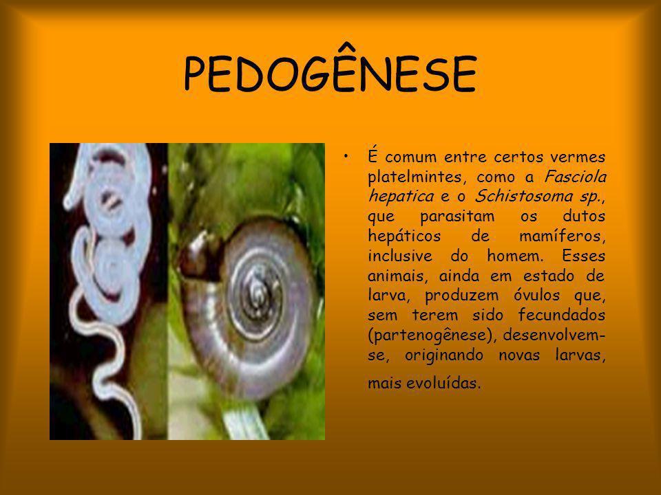 PEDOGÊNESE É comum entre certos vermes platelmintes, como a Fasciola hepatica e o Schistosoma sp., que parasitam os dutos hepáticos de mamíferos, inclusive do homem.