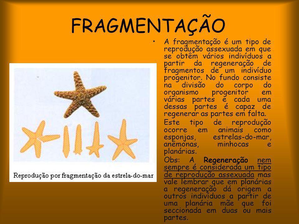 FRAGMENTAÇÃO A fragmentação é um tipo de reprodução assexuada em que se obtêm vários indivíduos a partir da regeneração de fragmentos de um indivíduo progenitor.