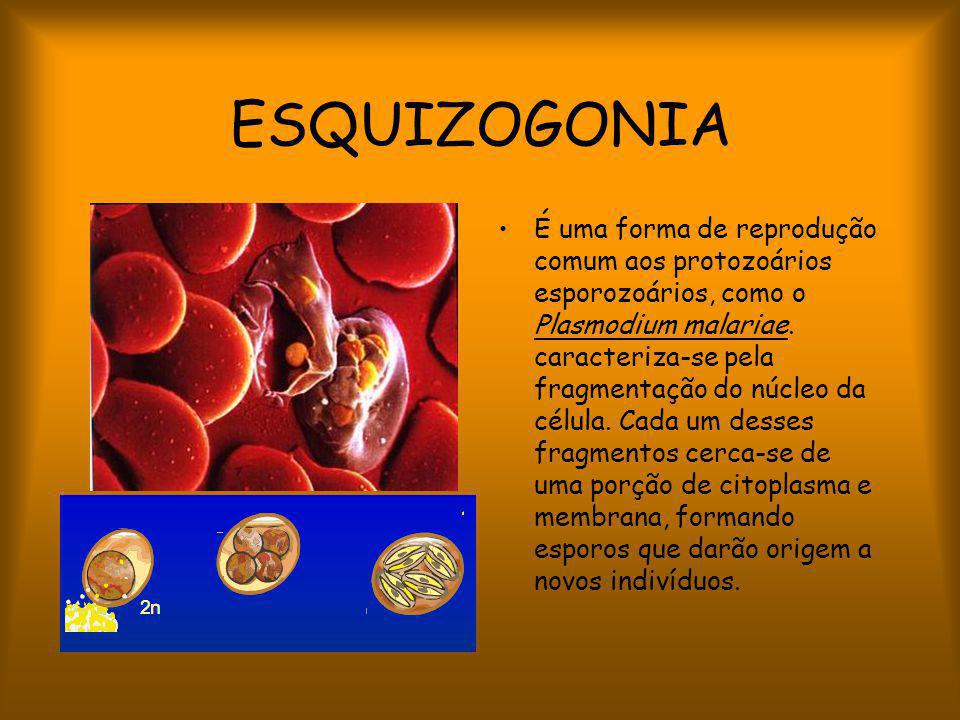 ESQUIZOGONIA É uma forma de reprodução comum aos protozoários esporozoários, como o Plasmodium malariae.
