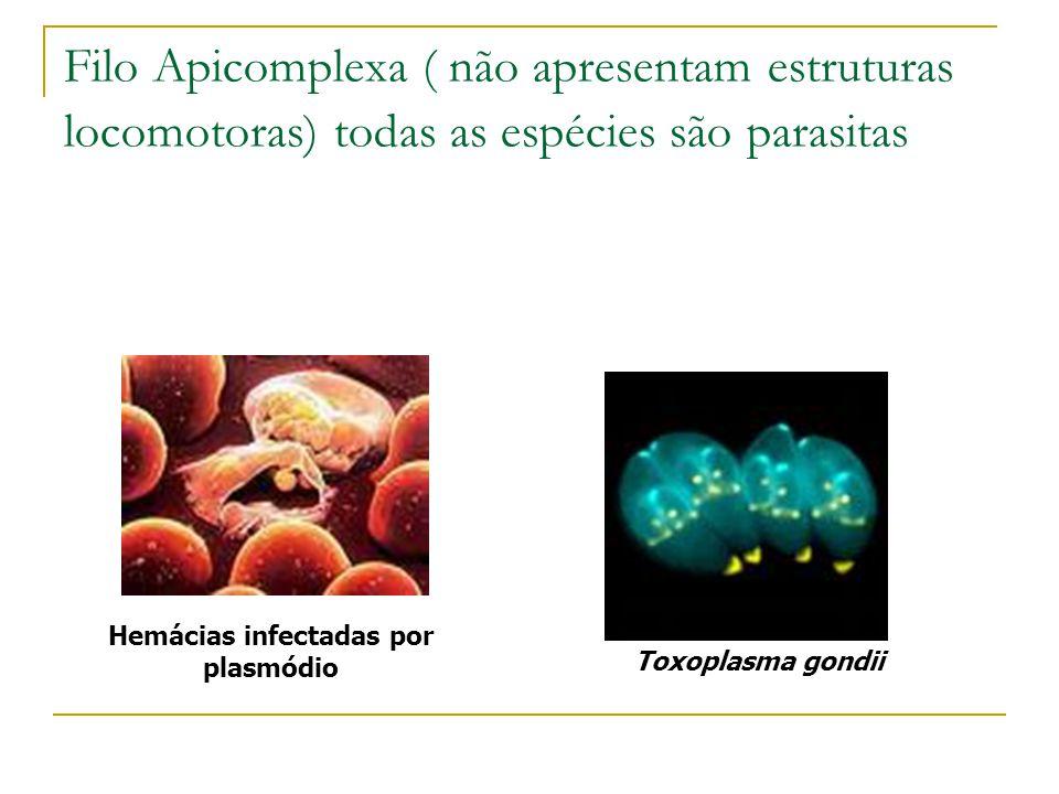 Filo Apicomplexa ( não apresentam estruturas locomotoras) todas as espécies são parasitas Hemácias infectadas por plasmódio Toxoplasma gondii