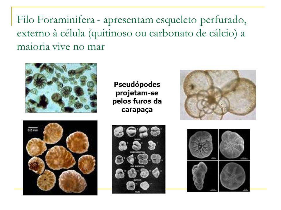 Filo Foraminifera - apresentam esqueleto perfurado, externo à célula (quitinoso ou carbonato de cálcio) a maioria vive no mar Pseudópodes projetam-se