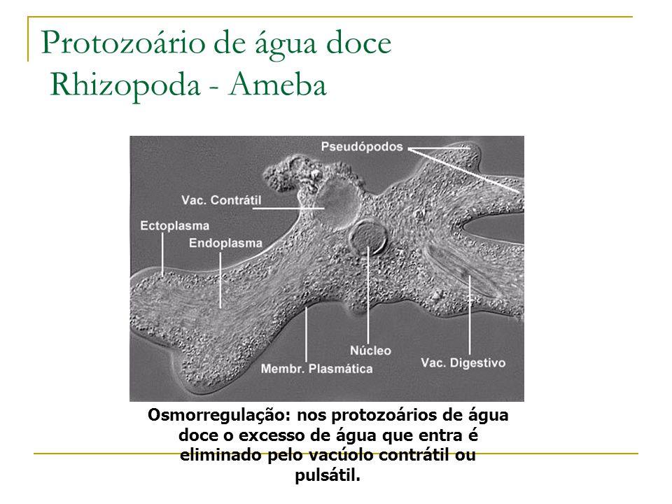 Protozoário de água doce Rhizopoda - Ameba Osmorregulação: nos protozoários de água doce o excesso de água que entra é eliminado pelo vacúolo contráti