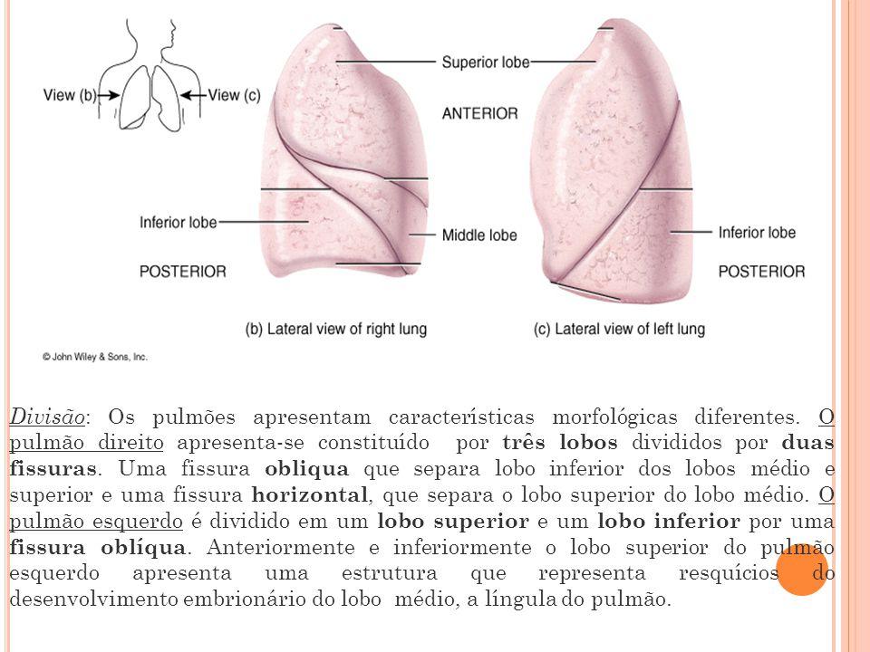 Divisão : Os pulmões apresentam características morfológicas diferentes.