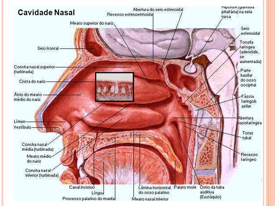 Cavidade Nasal