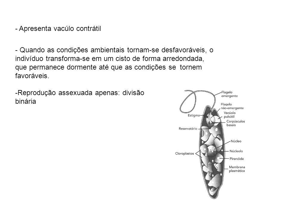 - Apresenta vacúlo contrátil - Quando as condições ambientais tornam-se desfavoráveis, o indivíduo transforma-se em um cisto de forma arredondada, que