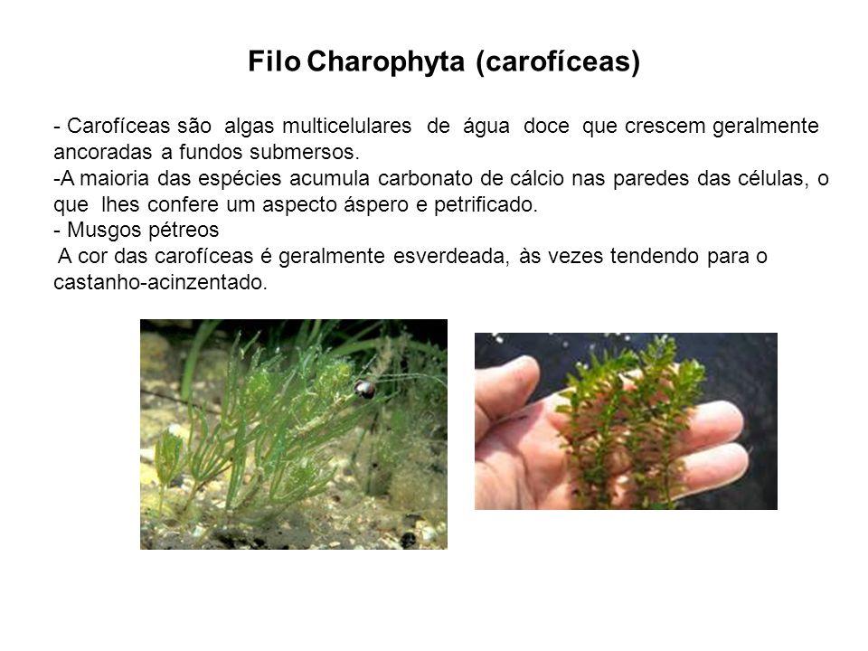 Filo Charophyta (carofíceas) - Carofíceas são algas multicelulares de água doce que crescem geralmente ancoradas a fundos submersos. -A maioria das es