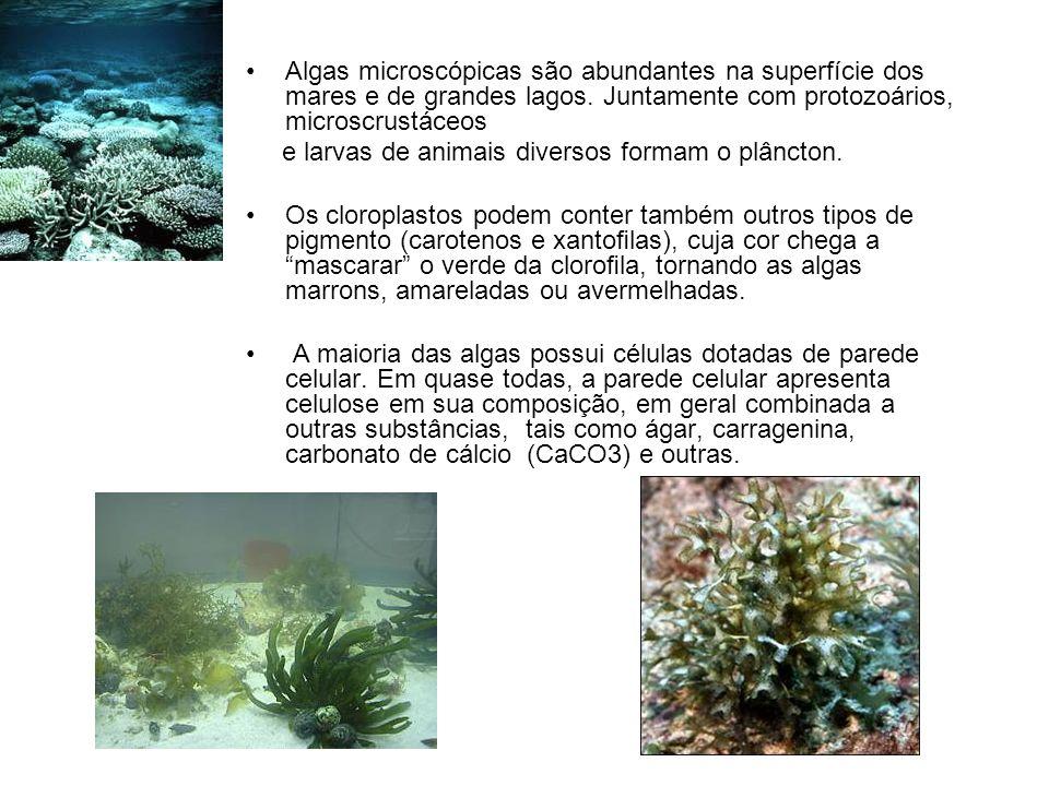 Algas microscópicas são abundantes na superfície dos mares e de grandes lagos. Juntamente com protozoários, microscrustáceos e larvas de animais diver