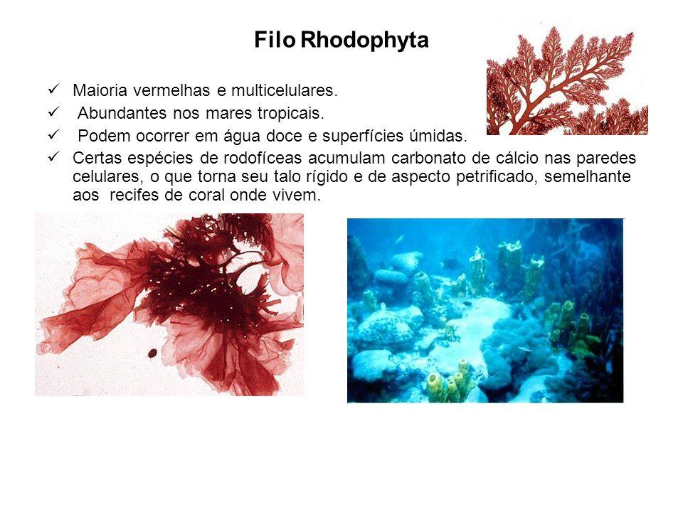 Filo Rhodophyta Maioria vermelhas e multicelulares. Abundantes nos mares tropicais. Podem ocorrer em água doce e superfícies úmidas. Certas espécies d
