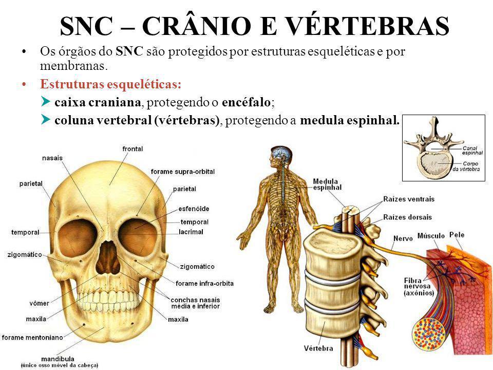 Professor: João Paulo SNC – CRÂNIO E VÉRTEBRAS Os órgãos do SNC são protegidos por estruturas esqueléticas e por membranas. Estruturas esqueléticas: c