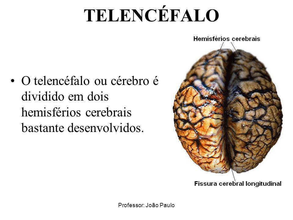 Professor: João Paulo TELENCÉFALO O telencéfalo ou cérebro é dividido em dois hemisférios cerebrais bastante desenvolvidos.