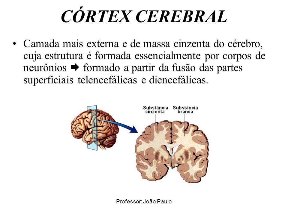Professor: João Paulo CÓRTEX CEREBRAL Camada mais externa e de massa cinzenta do cérebro, cuja estrutura é formada essencialmente por corpos de neurôn
