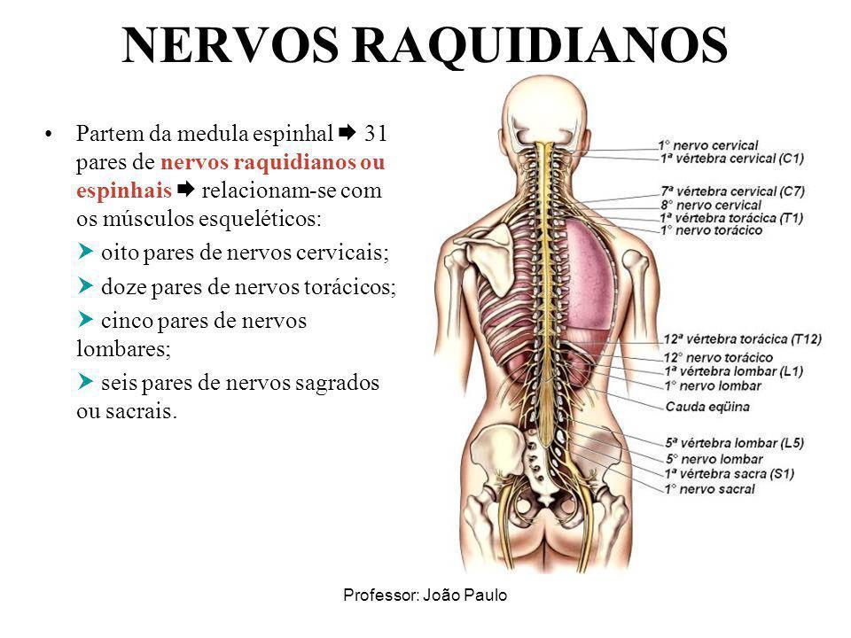 Professor: João Paulo NERVOS RAQUIDIANOS Partem da medula espinhal 31 pares de nervos raquidianos ou espinhais relacionam-se com os músculos esqueléti