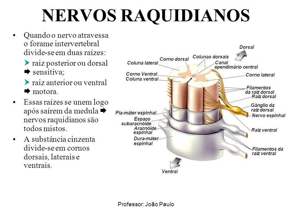 Professor: João Paulo NERVOS RAQUIDIANOS Quando o nervo atravessa o forame intervertebral divide-se em duas raízes: raiz posterior ou dorsal sensitiva