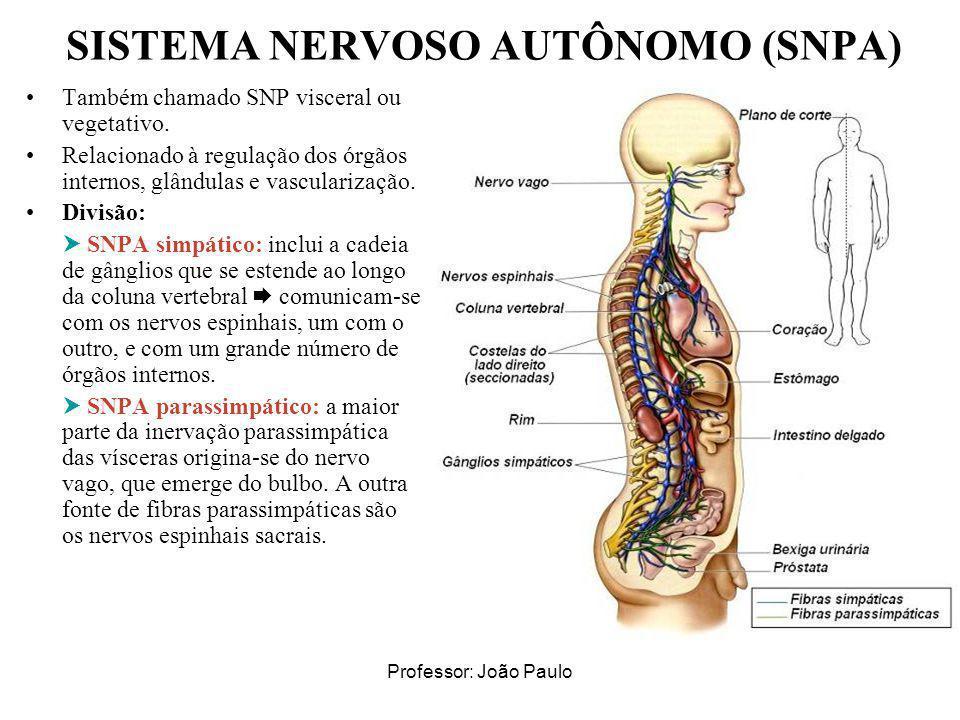 Professor: João Paulo SISTEMA NERVOSO AUTÔNOMO (SNPA) Também chamado SNP visceral ou vegetativo. Relacionado à regulação dos órgãos internos, glândula
