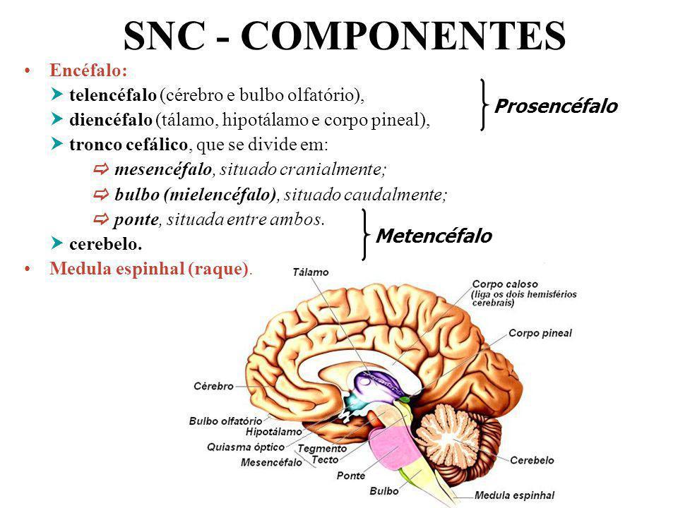 Professor: João Paulo SNC - COMPONENTES Encéfalo: telencéfalo (cérebro e bulbo olfatório), diencéfalo (tálamo, hipotálamo e corpo pineal), tronco cefá