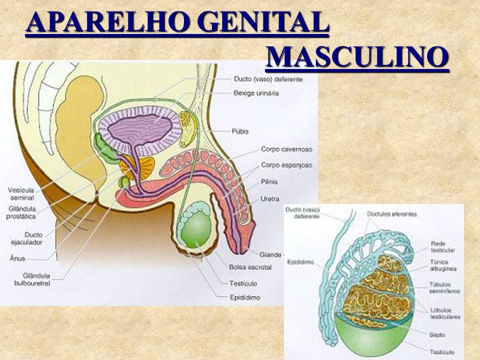 Internamente é composto por: Canal da uretra Próstata Vesículas seminais Canais Deferentes Epidídimos Testículos
