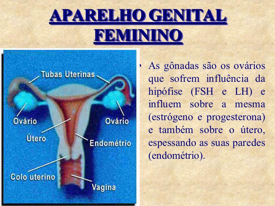 APARELHO GENITAL FEMININO As gônadas são os ovários que sofrem influência da hipófise (FSH e LH) e influem sobre a mesma (estrógeno e progesterona) e também sobre o útero, espessando as suas paredes (endométrio).