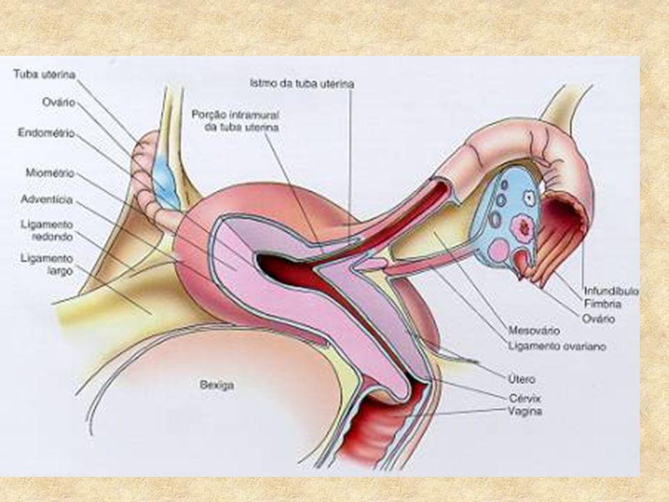 COMANDO CENTRAL A hipófise produzirá o FSH que estimula o amadurecimento dos folículos e o LH que estimula a ovulação.