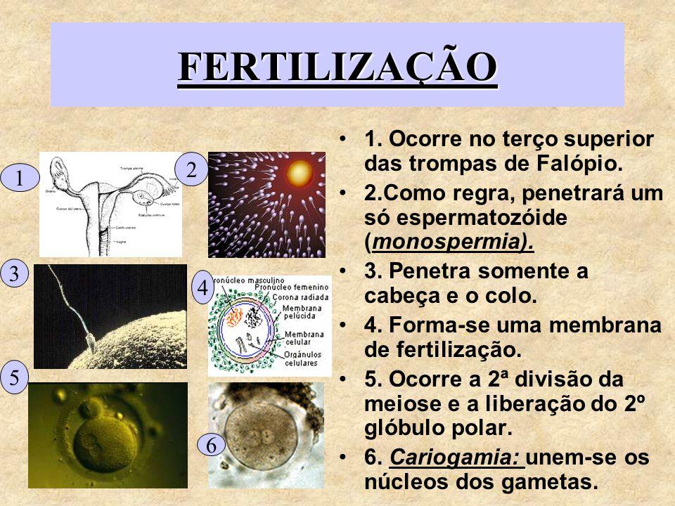 GRAVIDEZGRAVIDEZ Se houver nidação, há produção de gonadotrofina coriônica,que mantém o funcionamento do corpo lúteo,que continua a produzir progesterona durante 50 dias, até a completa formação da placenta.