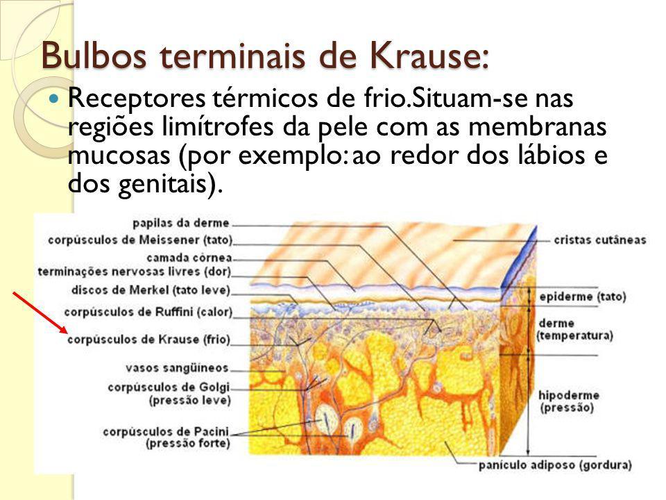 Bulbos terminais de Krause: Receptores térmicos de frio.Situam-se nas regiões limítrofes da pele com as membranas mucosas (por exemplo: ao redor dos l