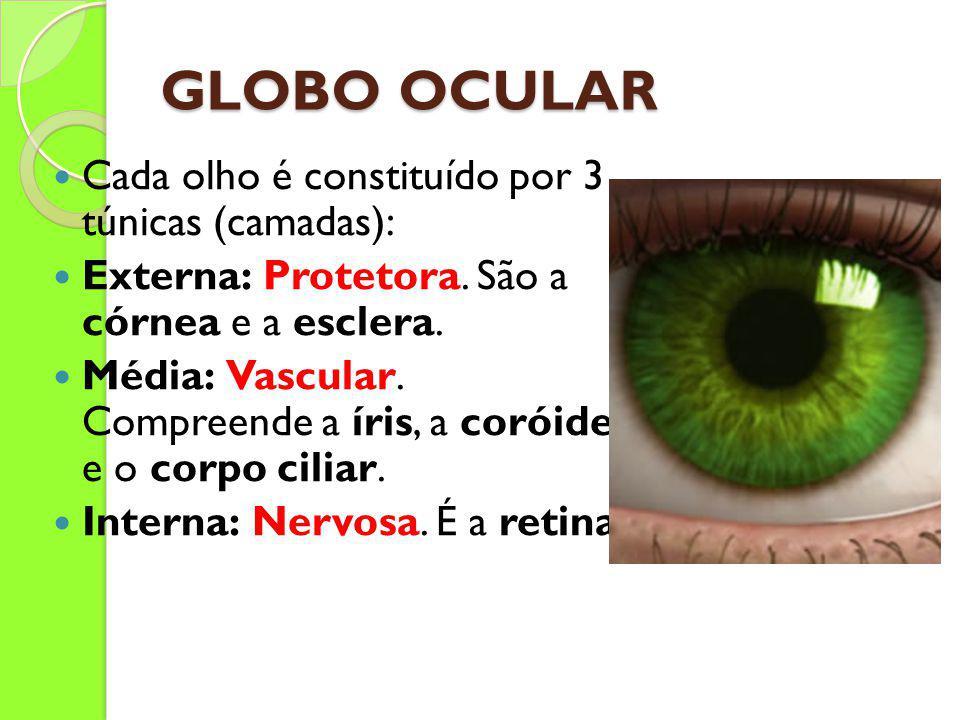 GLOBO OCULAR Cada olho é constituído por 3 túnicas (camadas): Externa: Protetora. São a córnea e a esclera. Média: Vascular. Compreende a íris, a coró