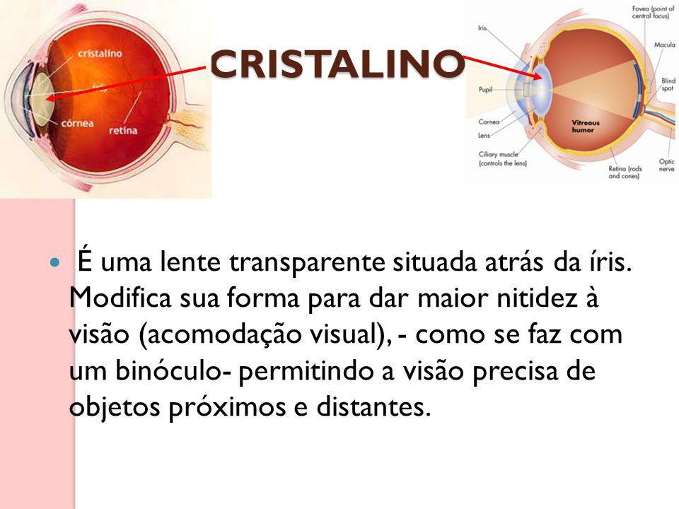 CRISTALINO É uma lente transparente situada atrás da íris. Modifica sua forma para dar maior nitidez à visão (acomodação visual), - como se faz com um