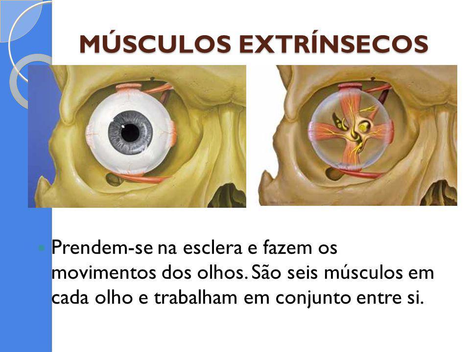 MÚSCULOS EXTRÍNSECOS Prendem-se na esclera e fazem os movimentos dos olhos. São seis músculos em cada olho e trabalham em conjunto entre si.