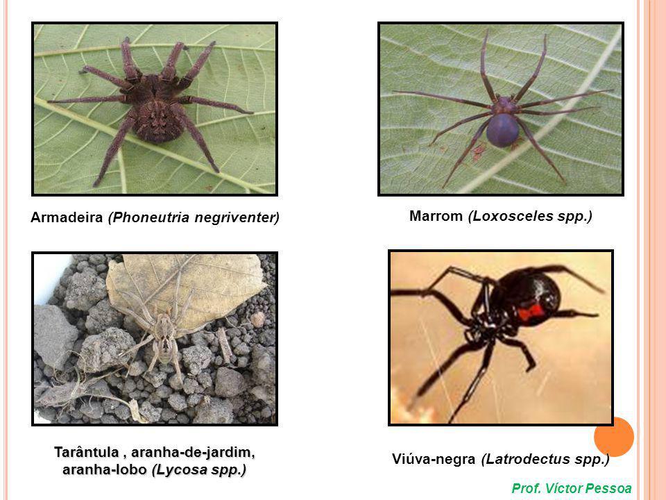 Tityus stigmurus Tityus bahiensis Espécies mais comuns causadoras de acidentes em humanos Prof.