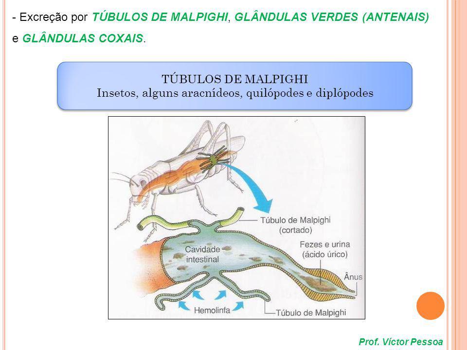 Prof. Víctor Pessoa GLÂNDULAS VERDES OU ANTENAIS Crustáceos GLÂNDULAS VERDES OU ANTENAIS Crustáceos