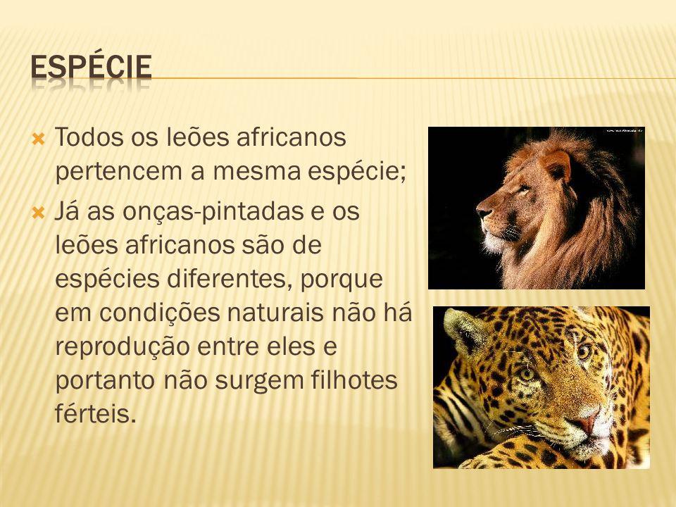 Todos os leões africanos pertencem a mesma espécie; Já as onças-pintadas e os leões africanos são de espécies diferentes, porque em condições naturais não há reprodução entre eles e portanto não surgem filhotes férteis.