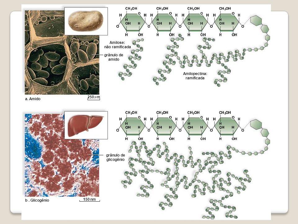 a. Amido b. Glicogênio Amilose: não ramificada grânulo de amido grânulo de glicogênio Amilopectina: ramificada 150 nm 250 m