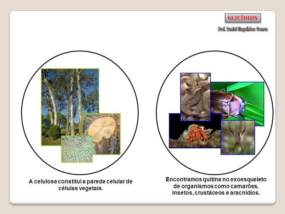 A celulose constitui a parede celular de células vegetais. Encontramos quitina no exoesqueleto de organismos como camarões, insetos, crustáceos e arac