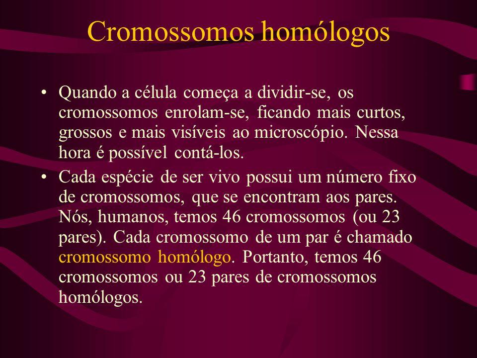 Cromossomos homólogos Quando a célula começa a dividir-se, os cromossomos enrolam-se, ficando mais curtos, grossos e mais visíveis ao microscópio. Nes