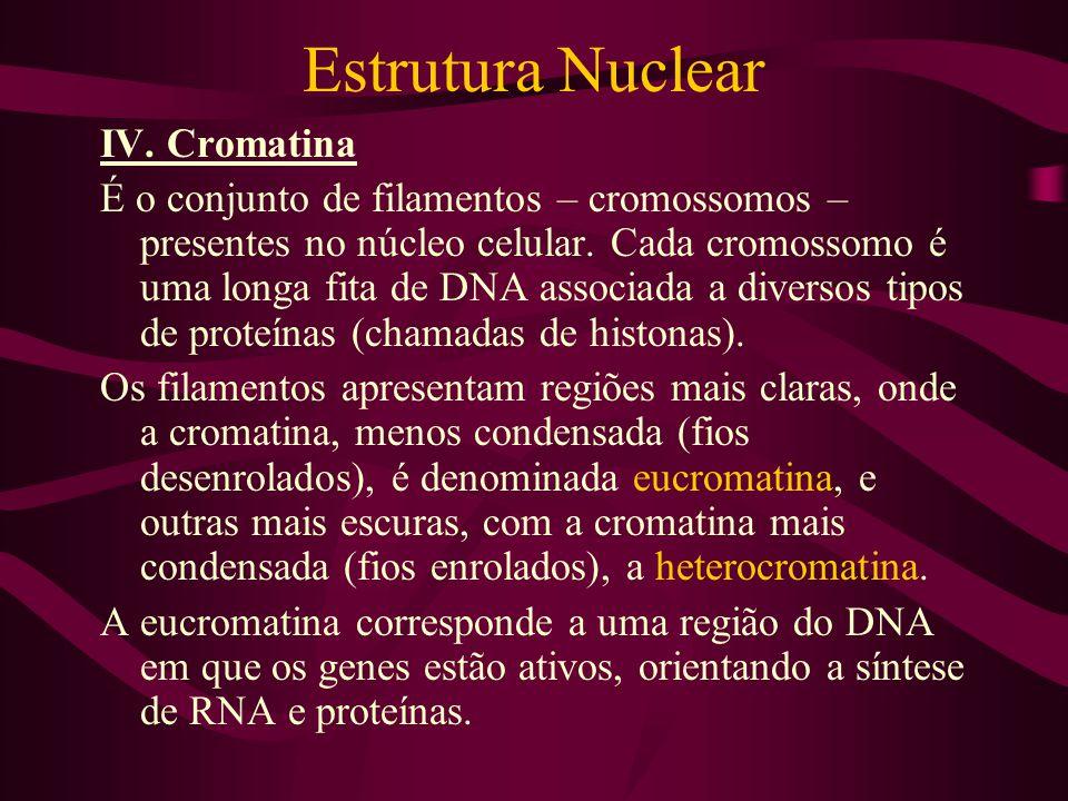 Estrutura Nuclear IV. Cromatina É o conjunto de filamentos – cromossomos – presentes no núcleo celular. Cada cromossomo é uma longa fita de DNA associ