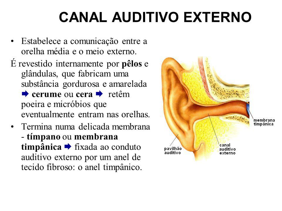 CANAL AUDITIVO EXTERNO Estabelece a comunicação entre a orelha média e o meio externo. É revestido internamente por pêlos e glândulas, que fabricam um