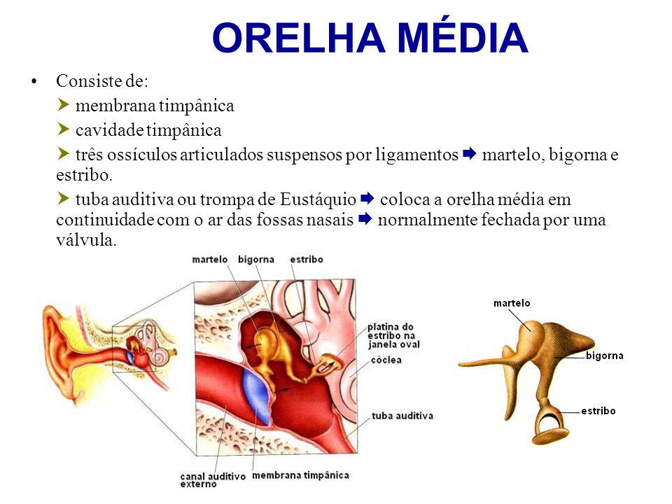 ORELHA MÉDIA Consiste de: membrana timpânica cavidade timpânica três ossículos articulados suspensos por ligamentos martelo, bigorna e estribo. tuba a