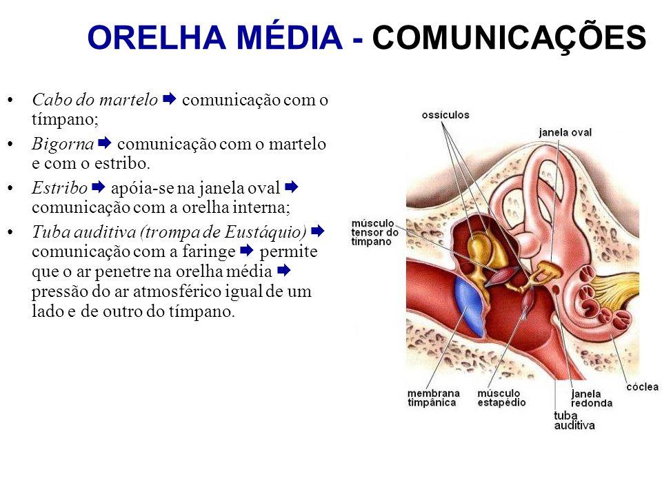 ORELHA MÉDIA - COMUNICAÇÕES Cabo do martelo comunicação com o tímpano; Bigorna comunicação com o martelo e com o estribo. Estribo apóia-se na janela o