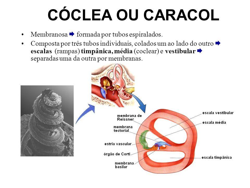 CÓCLEA OU CARACOL Membranosa formada por tubos espiralados. Composta por três tubos individuais, colados um ao lado do outro escalas (rampas) timpânic