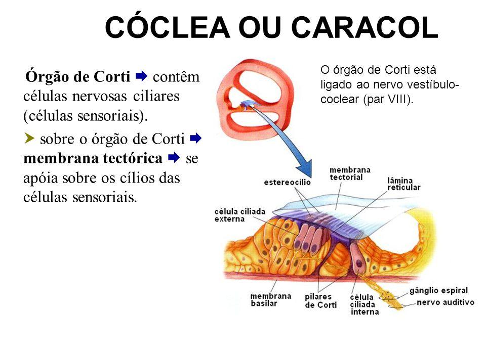 CÓCLEA OU CARACOL Órgão de Corti contêm células nervosas ciliares (células sensoriais). sobre o órgão de Corti membrana tectórica se apóia sobre os cí