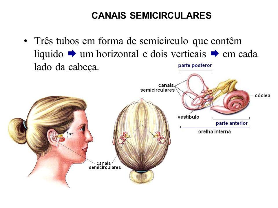 CANAIS SEMICIRCULARES Três tubos em forma de semicírculo que contêm líquido um horizontal e dois verticais em cada lado da cabeça.