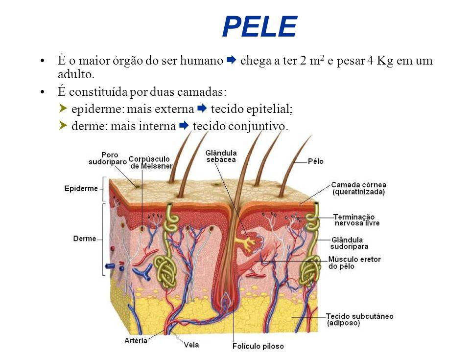 PELE É o maior órgão do ser humano chega a ter 2 m 2 e pesar 4 Kg em um adulto. É constituída por duas camadas: epiderme: mais externa tecido epitelia