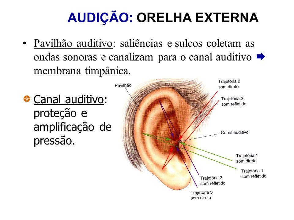 AUDIÇÃO: ORELHA EXTERNA Pavilhão auditivo: saliências e sulcos coletam as ondas sonoras e canalizam para o canal auditivo membrana timpânica. Canal au