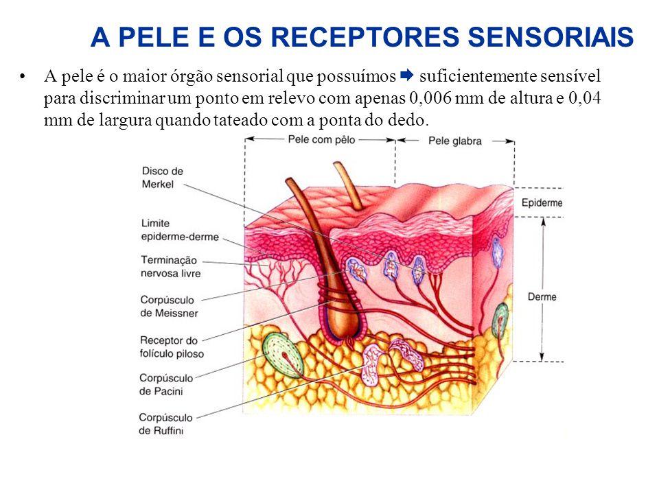 A PELE E OS RECEPTORES SENSORIAIS A pele é o maior órgão sensorial que possuímos suficientemente sensível para discriminar um ponto em relevo com apen