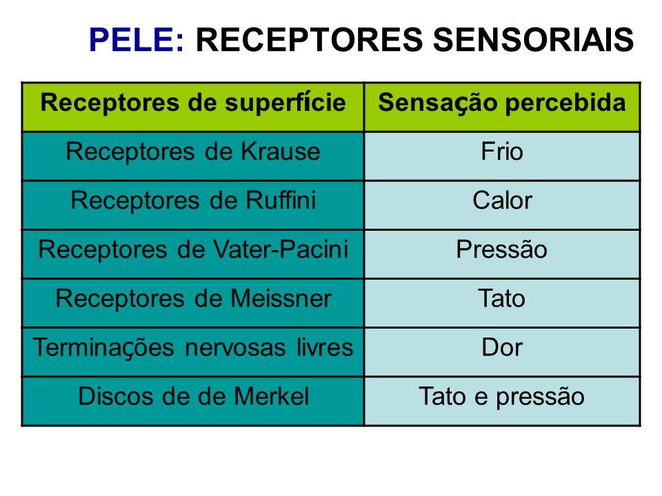 MODALIDADE SENSORIAL ESTÍMULO TIPO DE RECEPTOR RECEPTOR SENSORIAL TATO PressãoMecanorreceptor Corpúsculos de Vater-Pacini, Meissner e Merkel TEMPERATURA Quantidade de calor Termorreceptor Receptores de Krause (frio) e de Ruffini (calor) DOR Estímulos intensos e substâncias químicas NociceptorTerminações nervosas livres PELE: TIPOS DE RECEPTORES