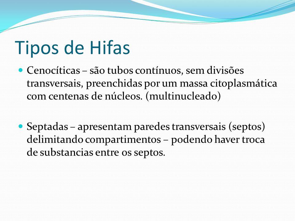 Tipos de Hifas Cenocíticas – são tubos contínuos, sem divisões transversais, preenchidas por um massa citoplasmática com centenas de núcleos. (multinu