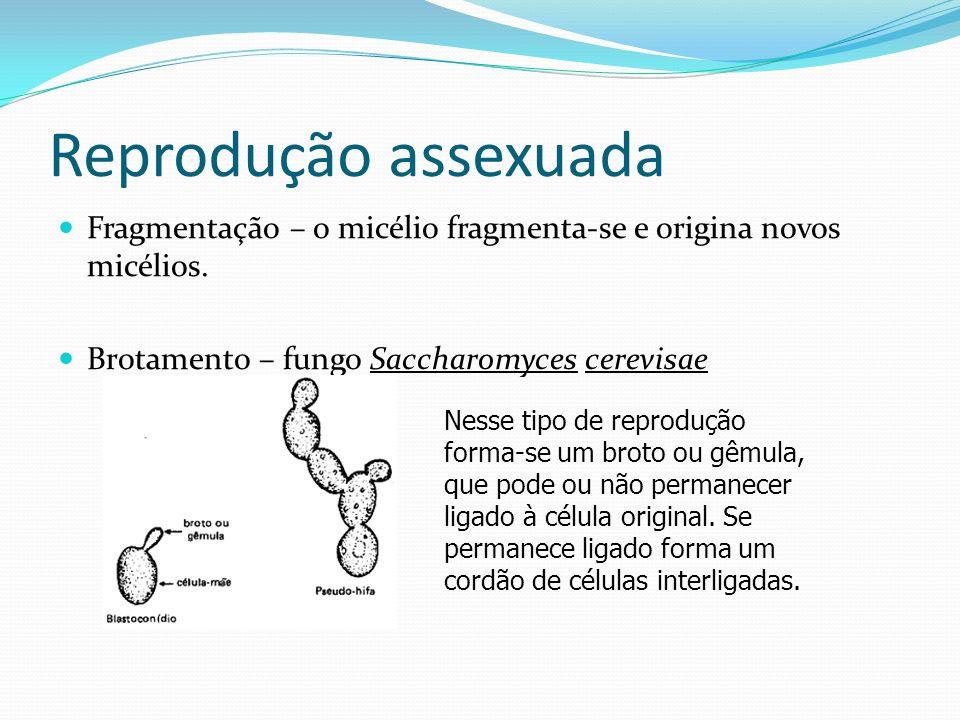 Reprodução assexuada Fragmentação – o micélio fragmenta-se e origina novos micélios. Brotamento – fungo Saccharomyces cerevisae Nesse tipo de reproduç