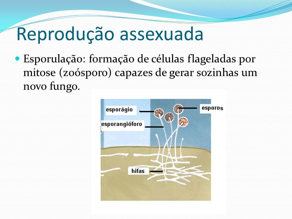 Reprodução assexuada Esporulação: formação de células flageladas por mitose (zoósporo) capazes de gerar sozinhas um novo fungo.